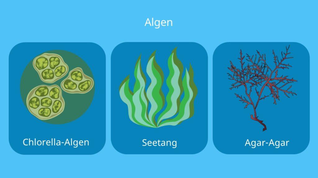 Algas, algae, algen, kelp, sea weed, chlorella, seetang, sägetang, agar, agar-agar