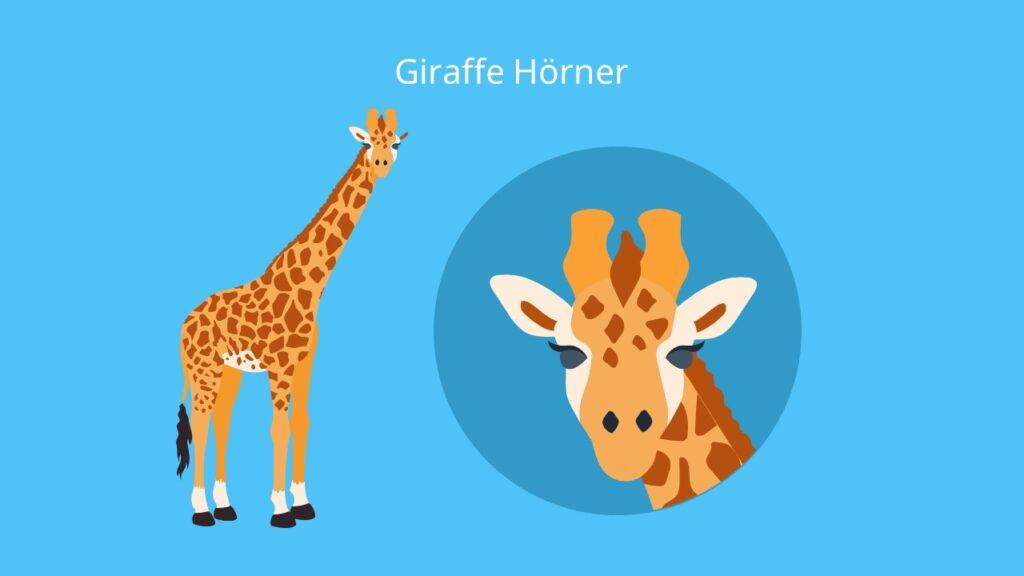 giraffe hörner, giraffe kopf, giraffe ohren, giraffen bilder