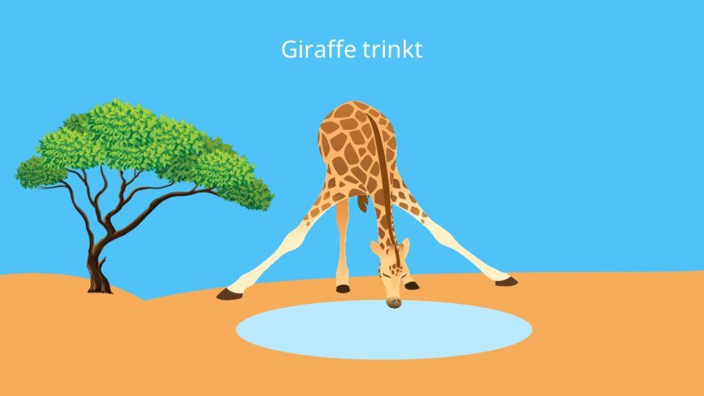 giraffe, trinken giraffen, giraffe bild, bilder