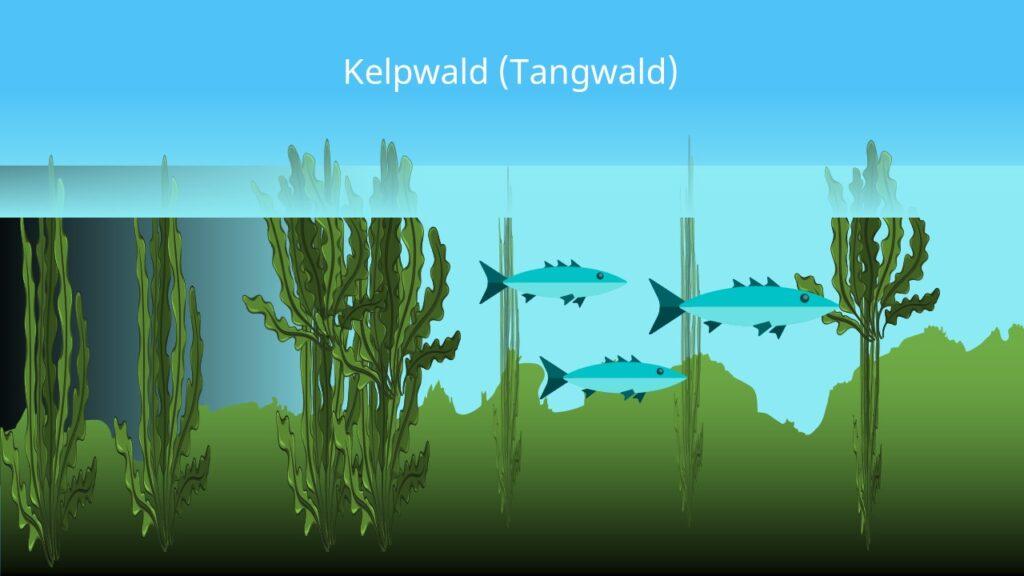 kelp algen, kelpwälder, seetang, tangwald