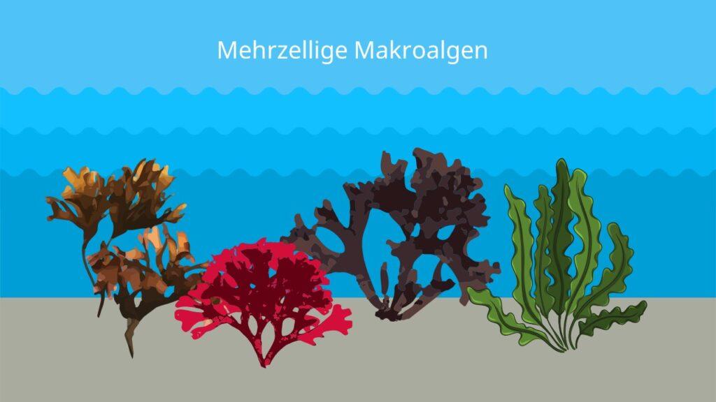 algae, algen bilder, braunalge, rotalge, schwarzalge, schwarze alge, rote alge, grüne alge, grünalge