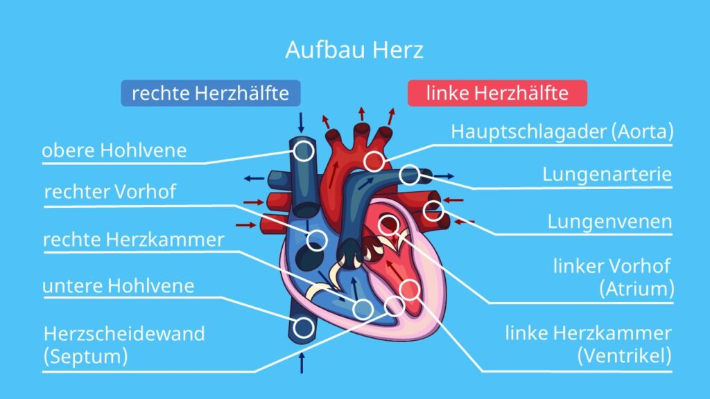 vorhof, aorta, herzklappen funktion, blutversorgung herz, atrium, Herzschichten, anatomie herz, das menschliche herz, herzscheidewand, organ, herz und gefäße, bau des herzens, herzbeschriftung, herzaufbau