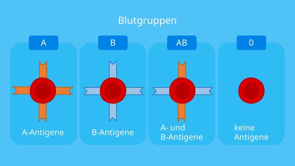 Blutgruppenvererbung, Antigene, Blutgruppe A, Blutgruppe B, Blutgruppe AB und Blutgruppe 0