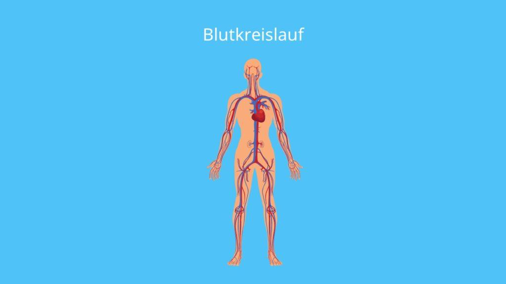Blutkreislauf, wie viel Liter Blut hat ein Mensch, Blutaufbau, Blut im Körper, Blutbestandteile, Blut Mensch