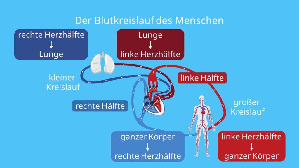 Der Blutkreislauf des Menschen, wie funktioniert der blutkreislauf, blutkreislauf einfach erklärt, blutkreislauf herz, der blutkreislauf, kreislauf, sauerstoffarmes blut, sauerstoffreiches blut, herz kreislauf, herz kreislauf system, herz kreislauf system funktion, herz kreislaufsystem, herzkreislauf, herzkreislaufsystem, herz-kreislauf-system, kleiner kreislauf, lungenkreislauf, großer kreislauf, körperkreislauf, großer körperkreislauf, blutbahnen, weg des blutes durch das herz