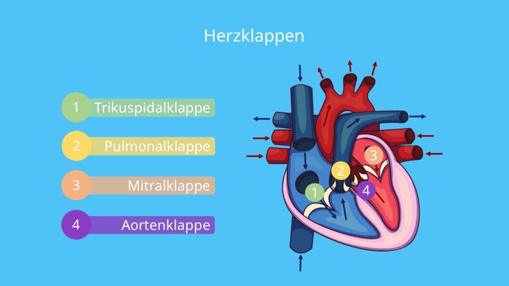 Aorta, Taschenklappen, Segelklappen, Mitralklappe, Trikuspidalklappe, Aortenklappe, Pulmonalklappe, Herz Aufbau