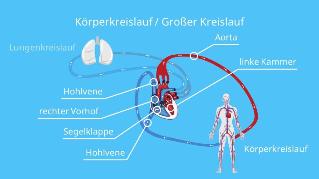 Körperkreislauf / Großer Kreislauf, wie funktioniert der blutkreislauf, blutkreislauf einfach erklärt, blutkreislauf herz, der blutkreislauf, kreislauf, sauerstoffarmes blut, sauerstoffreiches blut, herz kreislauf, herz kreislauf system, herz kreislauf system funktion, herz kreislaufsystem, herzkreislauf, herzkreislaufsystem, herz-kreislauf-system, großer kreislauf, körperkreislauf, großer körperkreislauf, blutbahnen