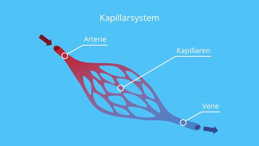 kapillaren, kapillarsystem, arterien, arterien herz, venen, venen herz, blutkreislauf herz, der blutkreislauf, kreislauf, sauerstoffarmes blut, sauerstoffreiches blut, herz kreislauf system, herzkreislaufsystem, herz-kreislauf-system, blutbahnen