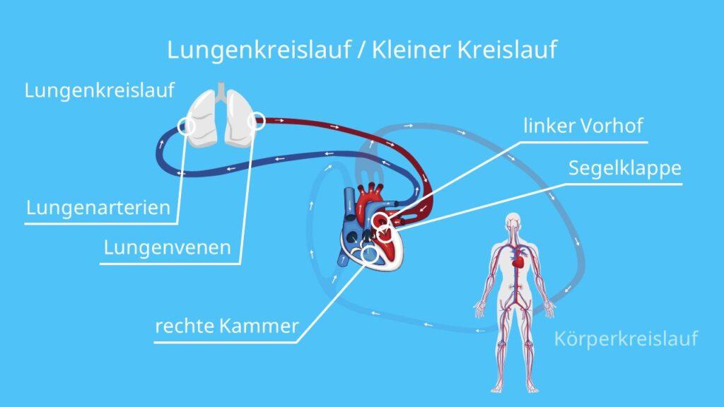 Lungenkreislauf / Kleiner Kreislauf, wie funktioniert der blutkreislauf, blutkreislauf einfach erklärt, blutkreislauf herz, der blutkreislauf, kreislauf, sauerstoffarmes blut, sauerstoffreiches blut, herz kreislauf, herz kreislauf system, herz kreislauf system funktion, herz kreislaufsystem, herzkreislauf, herzkreislaufsystem, herz-kreislauf-system, kleiner kreislauf, lungenkreislauf, blutbahnen