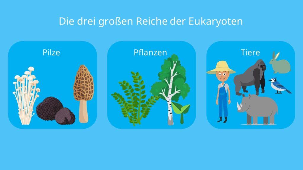 Was sind Pilze, fungi, was ist ein Pilz, pilze biologie, sind Pilze Pflanzen?, Pilze, Pflanzen, Reich, eukaryoten