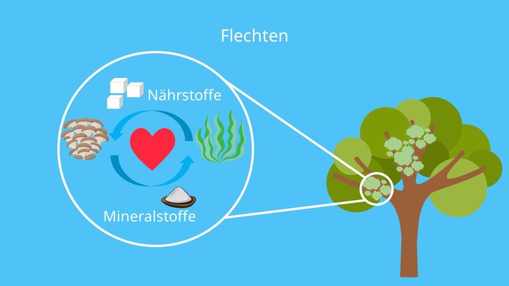 Pilze, Pilze ernährung, Flechten, Symbiose
