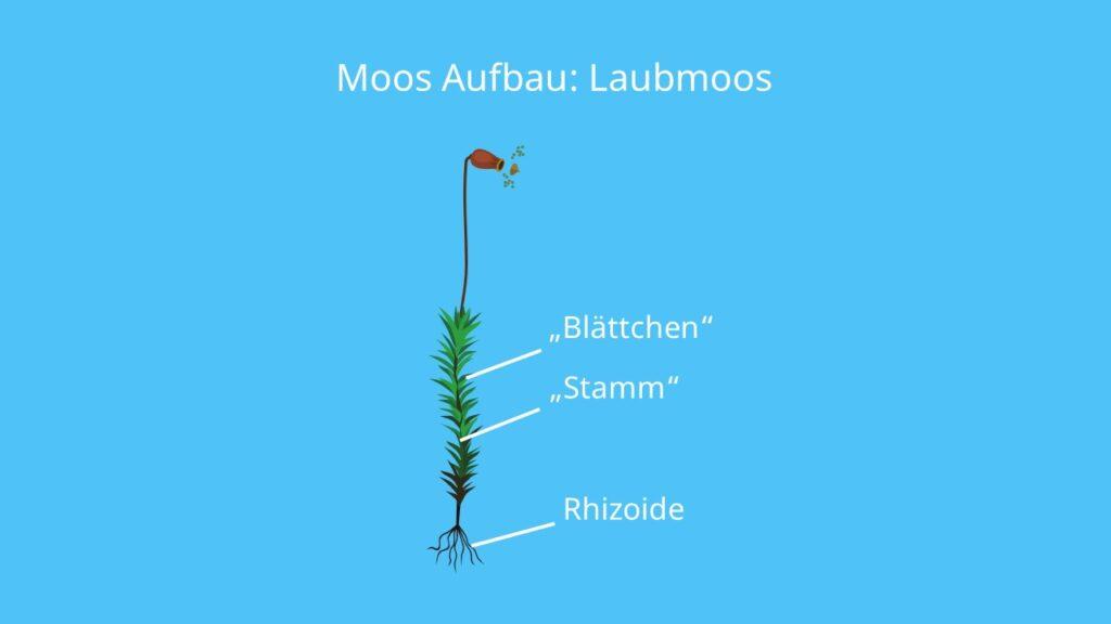 Laubmoos, Moos aufbau, rhizoide, vegetationskörper