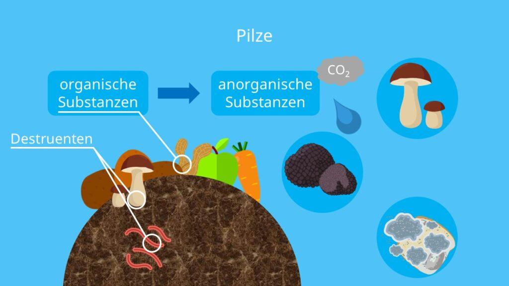 Was sind Pilze, Destruenten, Stoffkreislauf im Wald, Speisepilze, Schimmelpilze, wie viele Pilzarten gibt es