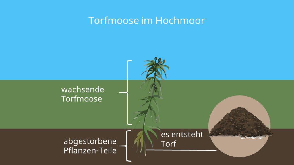 Moose, Torfmoos, Hochmoor