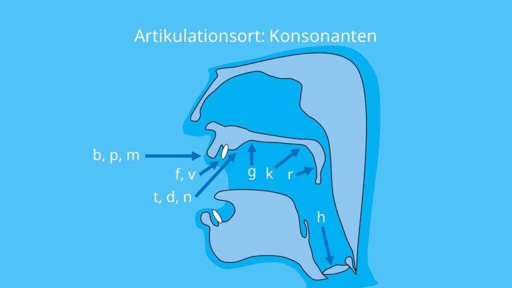 konsonanten, bildung konsonanten, konsonant, artikulation, artikulationsort, zungenposition, zunge, bilabial, labiodental, alveolar, postalveolar, palatal, velar, ulvular, glottal, laute, laut, mitlaut, was sind konsonanten
