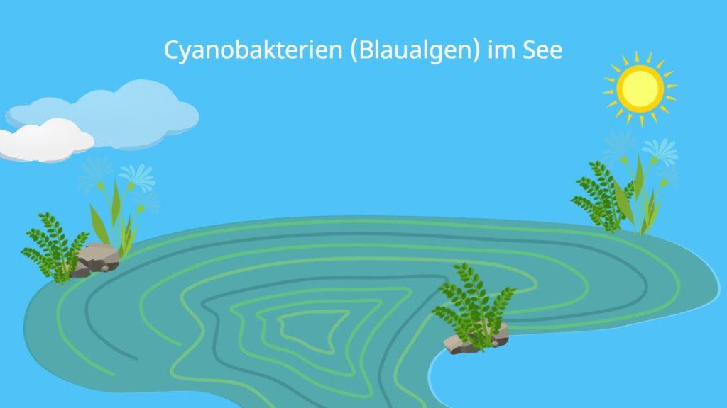 blaualgen, blaualge, blaualgen erkennen, blau algen, wie sehen blaualgen aus, was sind blaualgen, blaualgen gefährlich, blaualgen gefahr, cyanobakterien, cyano bakterien, cyanobakterien aufbau, cyanobakterium, blaualgen giftig für menschen, blaualgenblüte, woran erkennt man blaualgen, blaualgen cyanobakterien