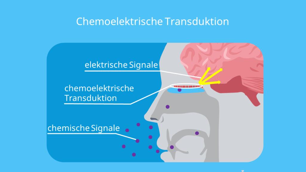 Riechzellen, Riechsinneszellen, Riechschleimhaut, Schleimhaut, Riechkolben, Atmung, Riechen, Geruchssinn, Riechsinn, olfaktorisch, olfaktorische wahrnehmung, olfaktorisches system, chemoelektrische tranduktion, nervenzellen, nase, moleküle, chemische signale, chemisches signal, elektrische signale, elektrisches signal, riechvorgang