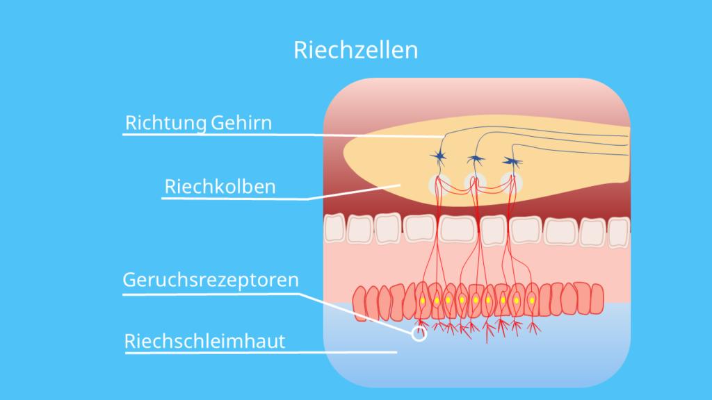 Riechzellen, Riechsinneszellen, Riechschleimhaut, Schleimhaut, Riechkolben, Atmung, Riechen, Geruchssinn, Riechsinn, olfaktorisch, olfaktorische wahrnehmung, olfaktorisches system, riechvorgang
