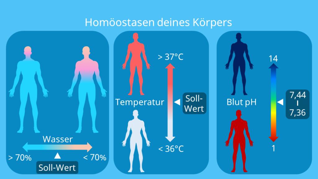 homöostase, homeostasis, homöostase definition, homöostatisch, homeostase, homoöstase, homöstase, homöostase biologie, homöostase psychologie, heterostase, homeostatic, homöostase blut