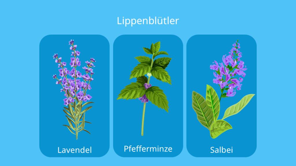 lippenblütler beispiele, lippenblütengewächse vertreter, lippenblütengewächse beispiele, lippenblütengewächse, lamiaceae