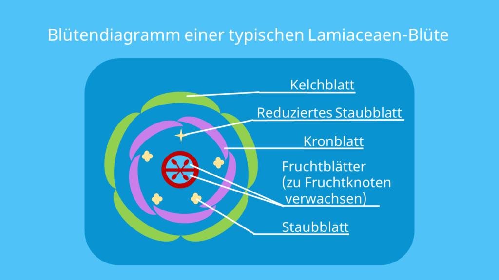 lamiaceae blüte, lippenblütler, lippenblütler blütendiagramm, lippenblütler merkmale, lippenblütengewächse merkmale