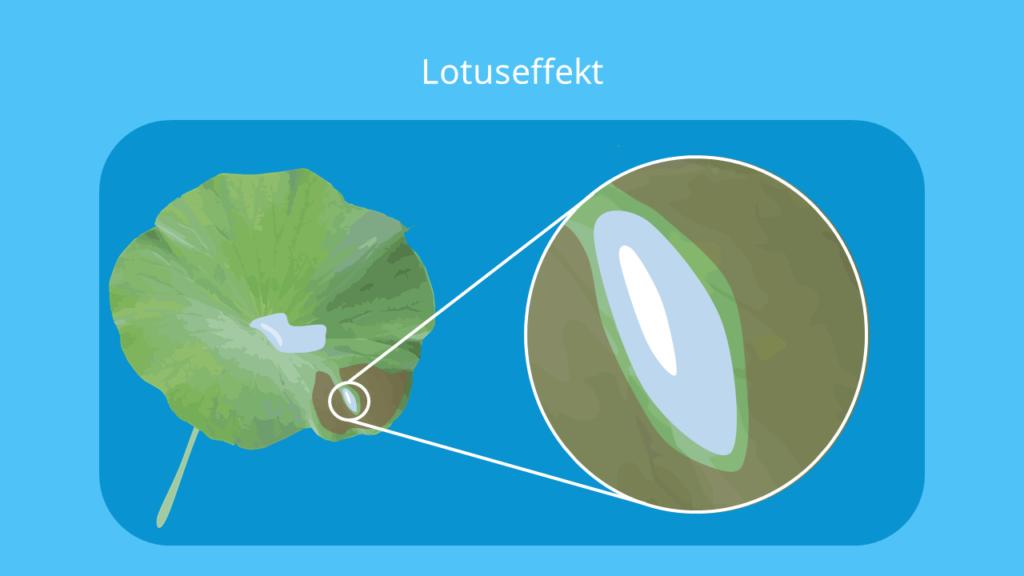lotuseffekt, lotus effekt, lotusblatt, abperleffekt, abperlen, der lotuseffekt, lotoseffekt, adhäsion wasser, was ist der lotuseffekt