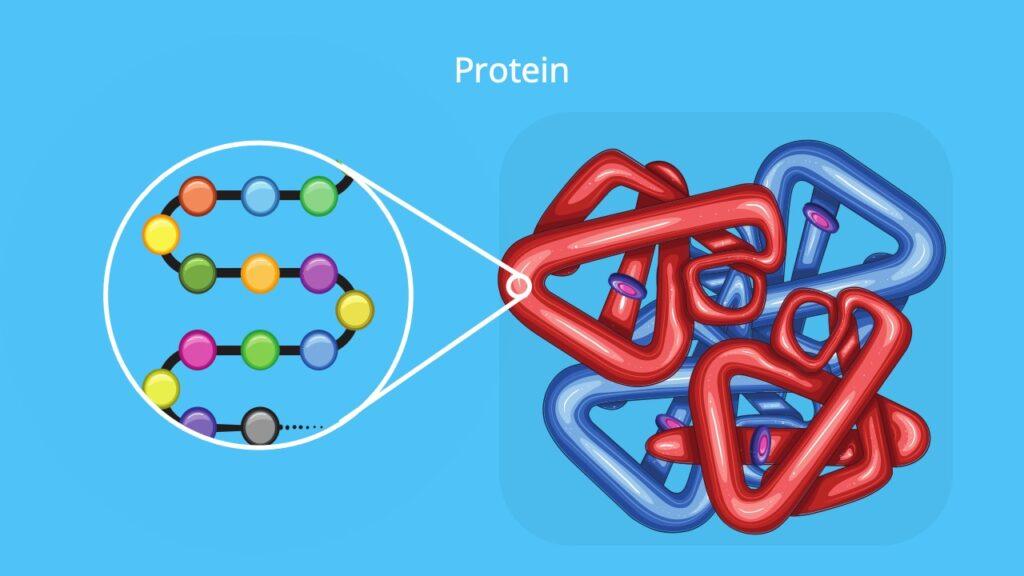 Proteine Aufbau, aufbau von proteinen, primärstruktur, aminosäuren, sekundärstrukur, Tertiätstruktur, Quartärstruktur, proteinstrukturen, was sind proteine