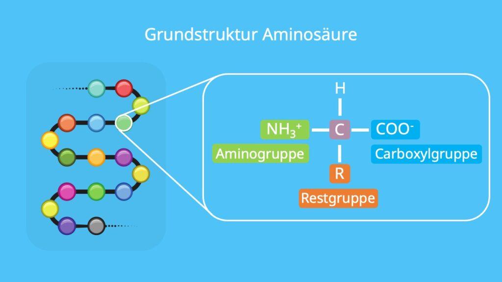 Proteine, Aminosäuren, aufbau proteine, proteine biologie, aminosäure grundstruktur, aminosäuren einteilung