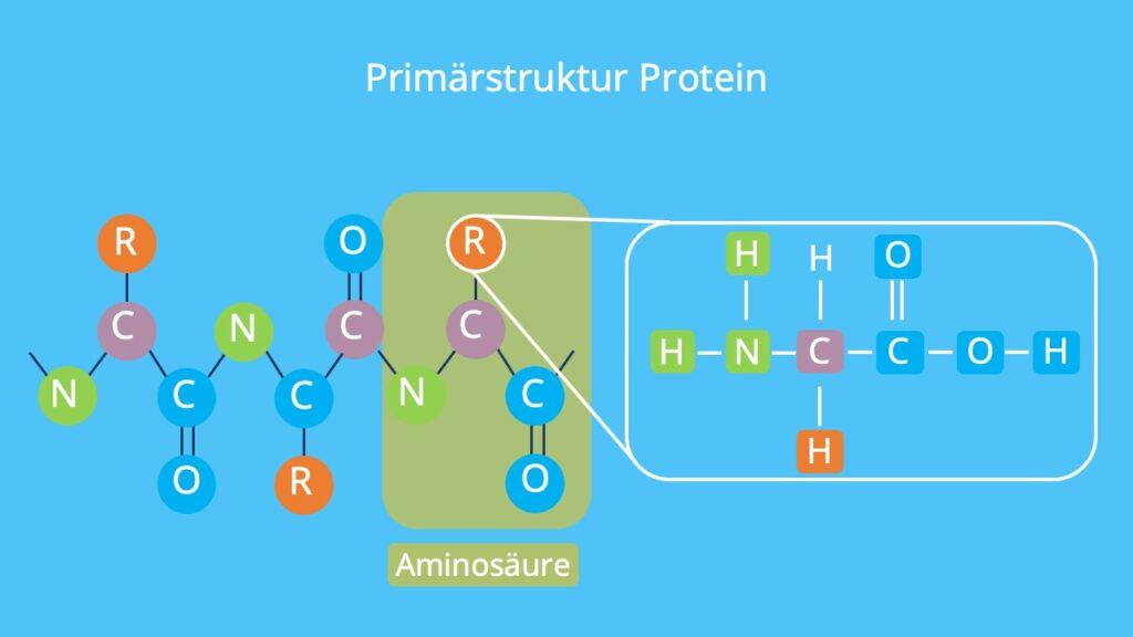 Primärstruktur Protein, Strukturebene Proteine, Aufbau Proteine, wie sind Proteine aufgenaut, aminosäurekette