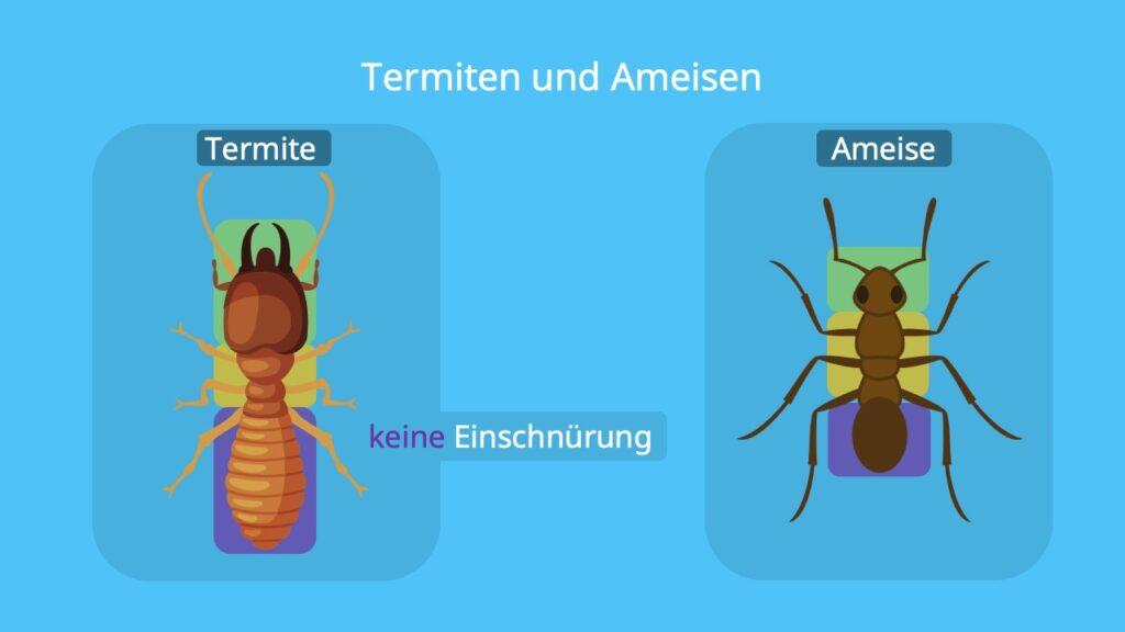 ermiten, wie sehen termiten aus, termiten ameisen unterschied, termiten ameisen, termiten vs ameisen, termite, weiße Ameise, ameise, einschnürung