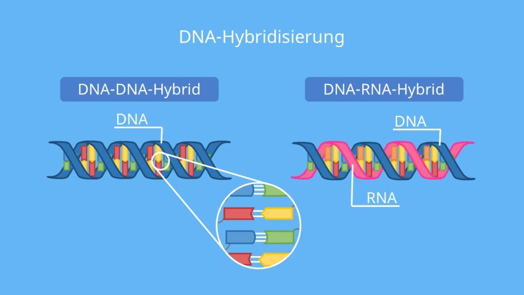 Hybridisierung defintion, hybridisiert, hybridisierung biologie, dna dna hybridisierung, dna hybridisierung ablauf