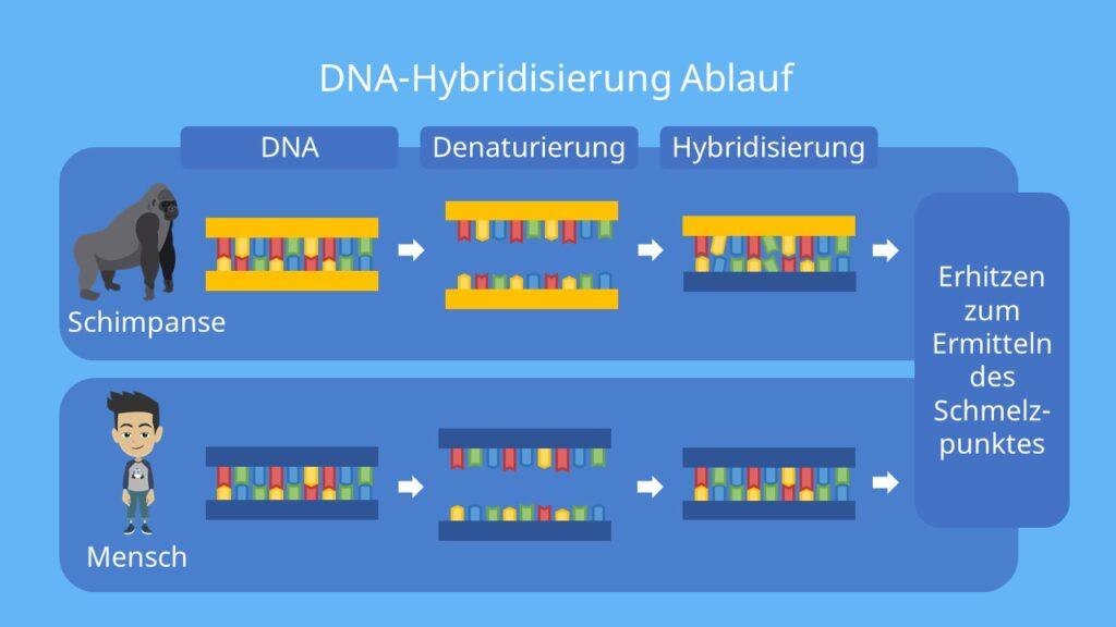 Hybridisierung defintion, hybridisiert, hybridisierung biologie, dna dna hybridisierung, dna hybridisierung ablauf, dna dna hybridisierung