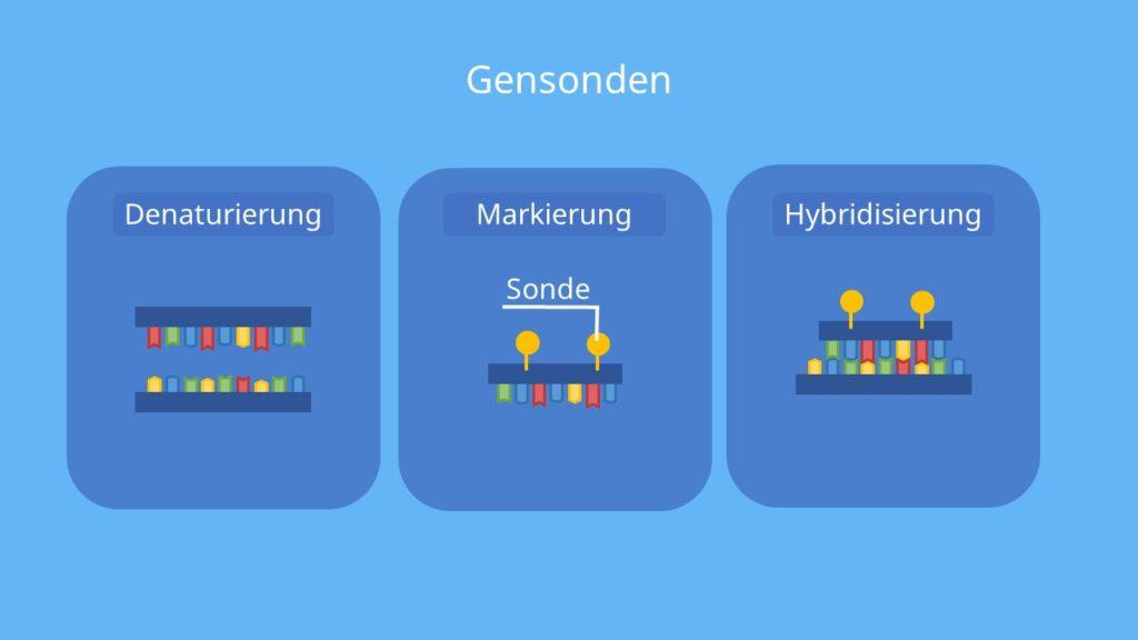 Hybridisierung defintion, hybridisiert, hybridisierung biologie, dna dna hybridisierung, dna hybridisierung ablauf, dna dna hybridisierung, gensonde, dna sonde, prinzip, in-situ-Hybridiserung