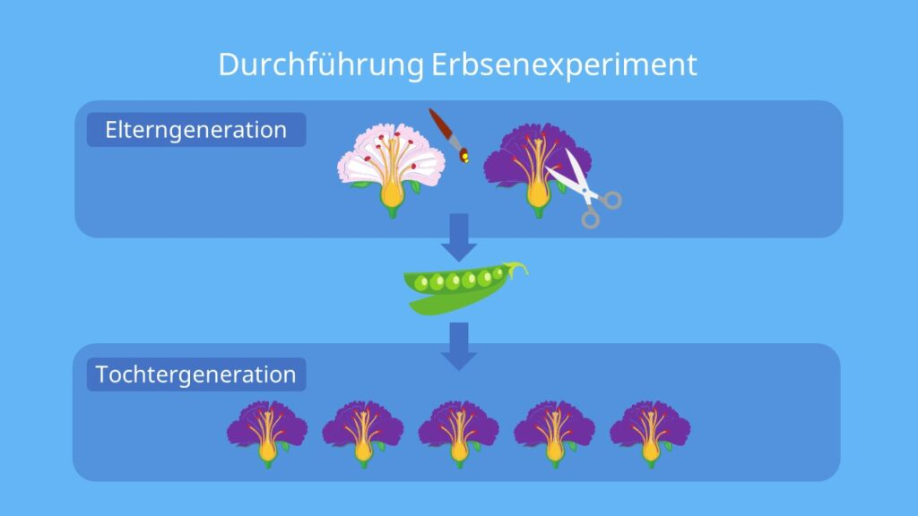 Mendel Genetik, Mendel Erbsen, mendel erbsen experiment