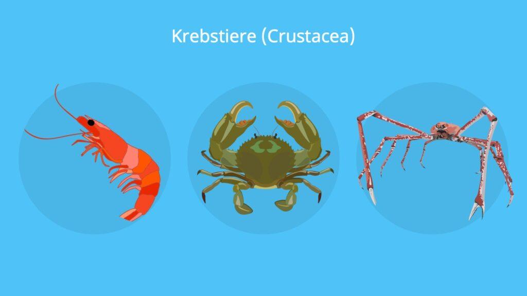 krebstiere, krebse, crustacea, crustaceae, krebs beine, krebs tier, krebstierarten, krebstiere arten, krebse arten, krebse beine, krebse im meer, krebsen, krebstier, krebstiere körperbau, was sind krebstiere