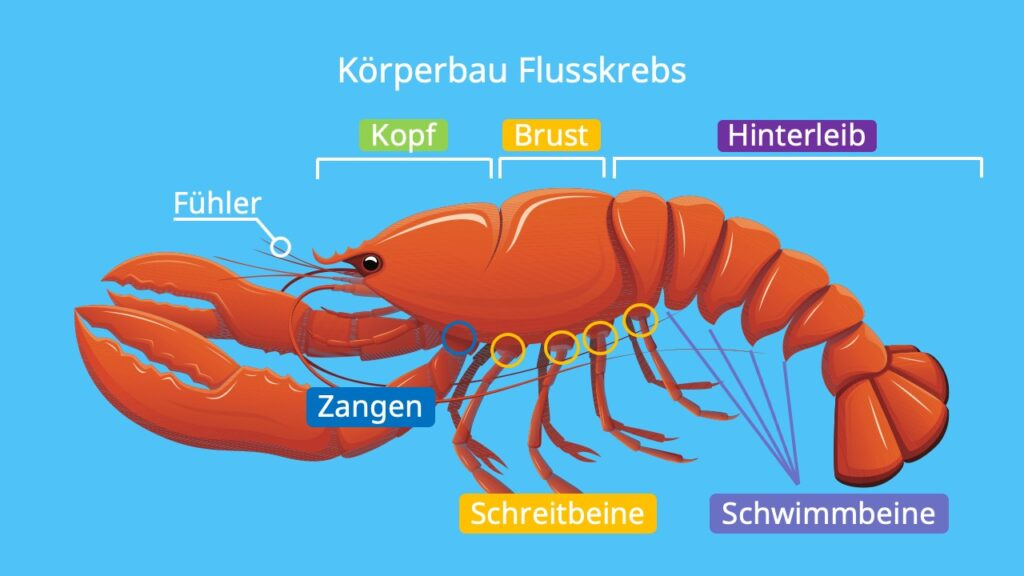 krebstiere, krebse, crustacea, crustaceae, krebs beine, krebs tier, krebstierarten, krebstiere arten, krebse arten, krebse beine, krebse im meer, krebsen, krebstier, krebstiere körperbau, was sind krebstiere, körperbau flusskrebs