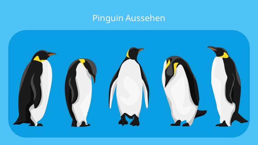 pinguin, pinguine, der pinguin, pinguin vogel, pinguin federn, pinguin bilder, pinguin bild, penguins