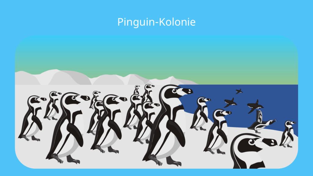 pinguin, pinguine, der pinguin, pinguin vogel, pinguin federn, pinguin bilder, pinguin bild, penguins, pinguine lebensraum, pinguine südpol, pinguin südpol, pinguine antarktis, antarktis pinguine