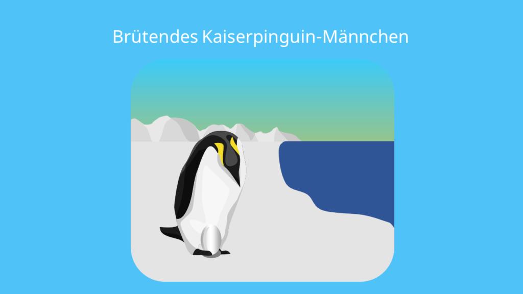 pinguin, pinguine, der pinguin, pinguin vogel, pinguin federn, pinguin bilder, pinguin bild, penguins, pinguine lebensraum, pinguine südpol, pinguin südpol, pinguine antarktis, antarktis pinguine, kaiserpinguin